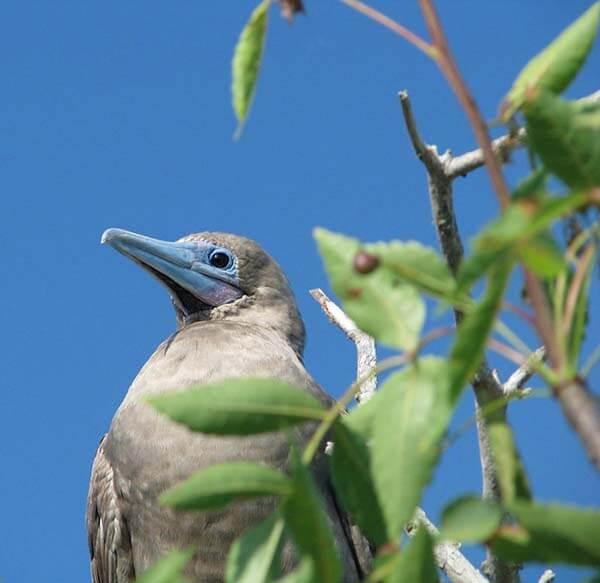 Galapagos-Finch