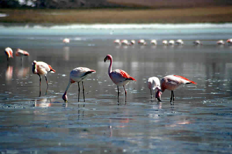 salar de uyuni luxury trips - flamingos