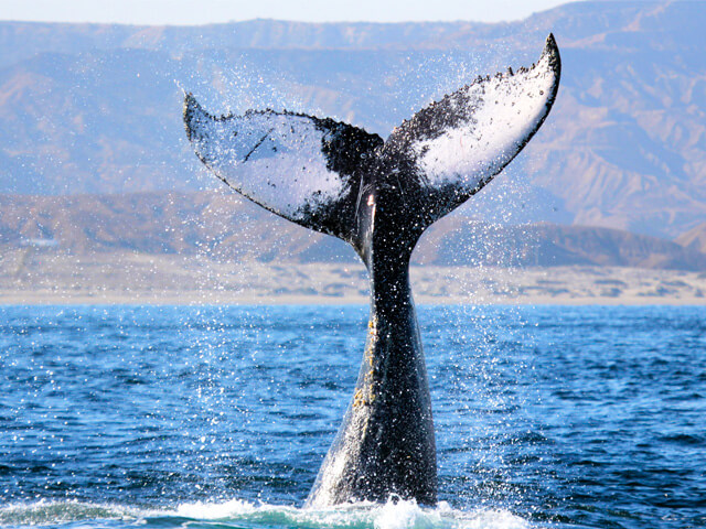 Whale-watching-in-Mancora-Insider-experiences-in-Peru