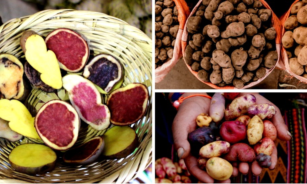 Peru culinary experience - selection of colorful potatoes