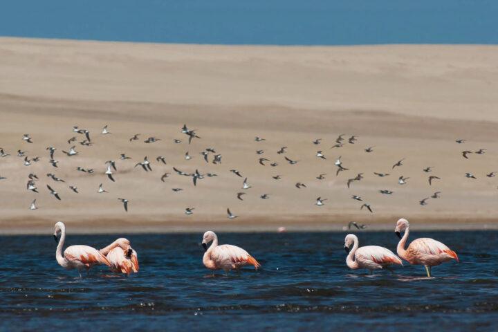 Flamingoes - Credit: Andina.pe