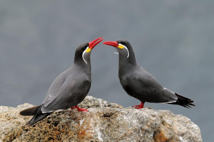 Inca Terns - Credit: IBC Collection