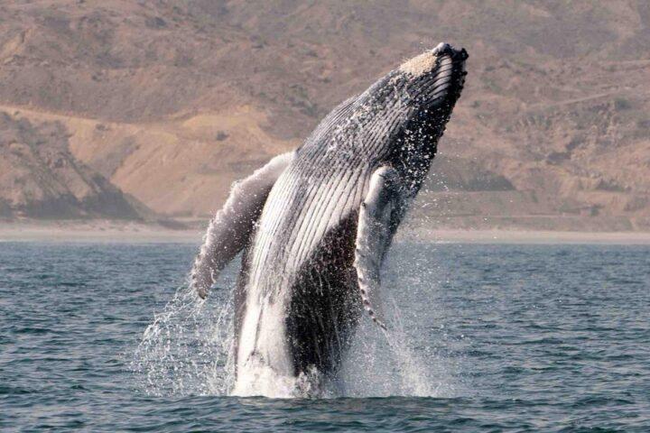 Whales season Credit: Rumbos del Peru