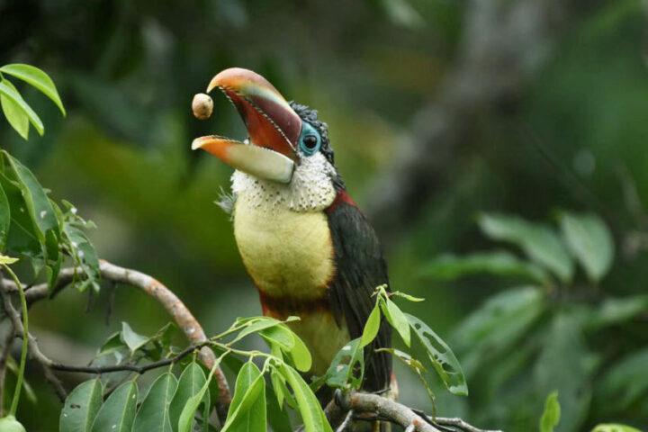 Aracari - Credit: Rumbos del Perú