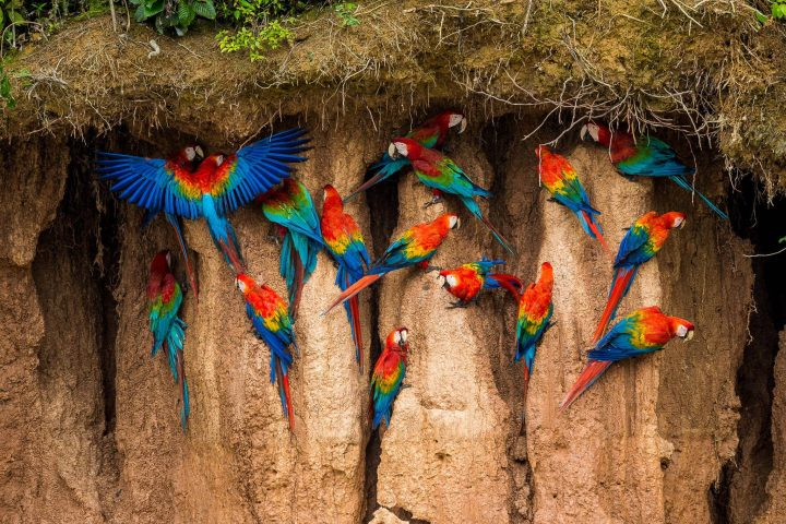 Macaw Clay lick at Tambopata