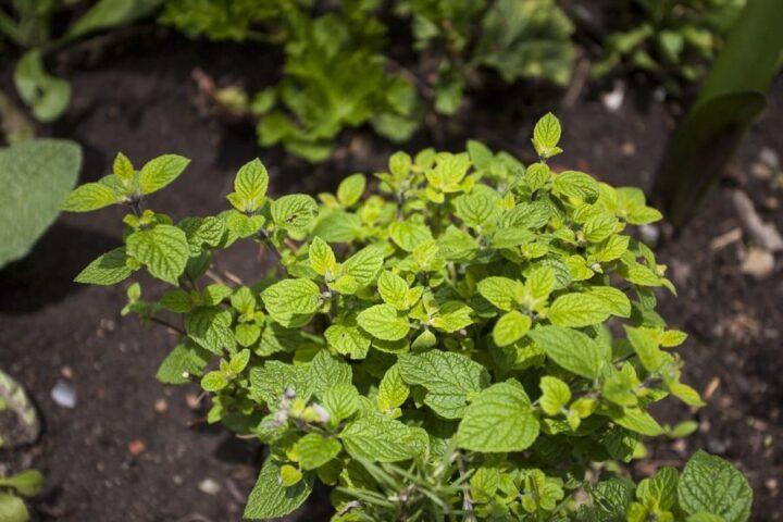 Muña And Its Medicinal Herbal Properties, Aracari Travel