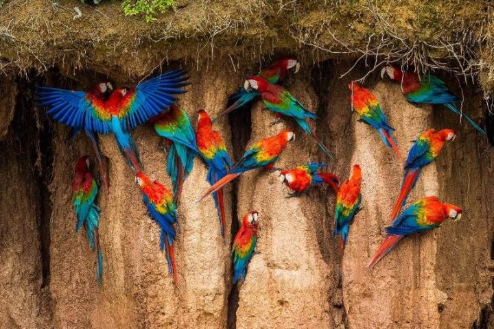 Macaws clay licking
