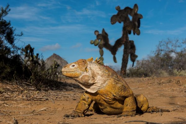 Iguana galapagos aracari