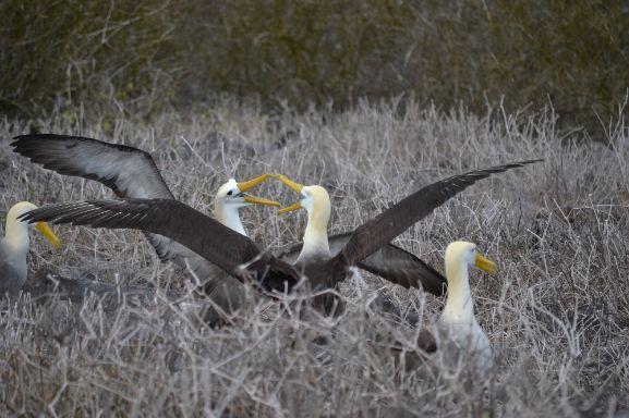 albatross galapagos aracari