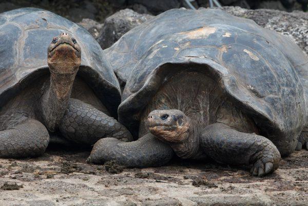 giant tortoise aracari galapagos