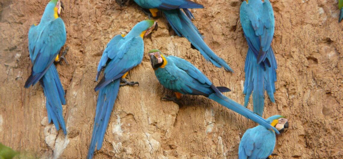 macaws eduardo nycander