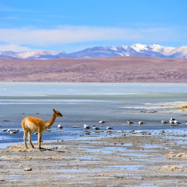 Vicunas and birds grazing on the shores of Laguna Salada, Reserv